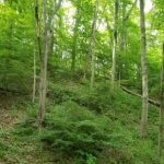Forest with invasive plant understory