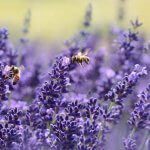 lavender field with honey bees